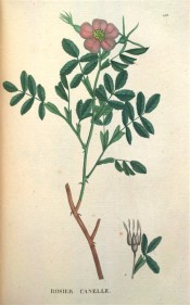 Figured are pinnate leaves with up to 9 leaflets, and  pink, single rose.  Saint-Hilaire Tr. pl.153, 1825.