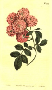Figured are 3- to 7-leaflet pinnate leaves and small, very double, deep pink roses.  Curtis's Botanical Magazine  f.1059, 1807.