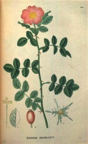Figured are pinnate leaves with 7 leaflets and single pink flower.  Saint-Hilaire Tr. pl.152, 1825.