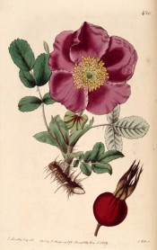 Figured is a single red rose with prominent stamens, very prickly stem and bright red hip.  Botanical Register f.420, 1819.