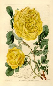 Figured are pinnate leaves and bright yellow double rose.  Botanical Register f.46, 1815.