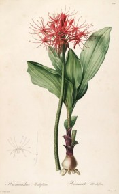 Illustrated are bulb, leaves and bright red flowers with narrow segments.  Redoute? L pl.204, 1802-15.