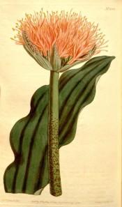 illustrated is a leaf and upright orange, paint-brush like flower.  Curtis's Botanical Magazine t.1315, 1810.