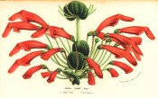 The figure shows almost spherical leaf formations and numerous crimson tubular flowers. FS f.1140-1141, 1856.