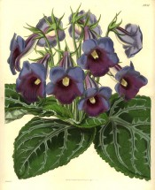 Figured is a gloxinia with blue, slipper-form flowers and attractive veined foliage. Botanical Magazine t.3934, 1842.
