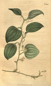 Illustrated is a thorny climber with ovate, ribbed leaves and small whitish flowers.  Curtis's Botanical Magazine t.1846, 1815.