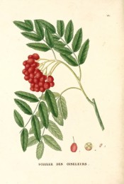 Figured are pinnate leaves and terminal bunch of bright red berries.  Saint-Hilaire Arb. pl.85, 1824.