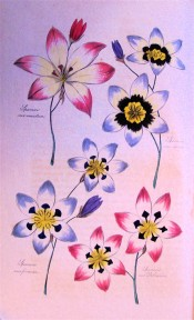 Figured are 4 varieties of Sparaxis in shades of blue, white and pink.  Floricultural Cabinet p.74, 1837.