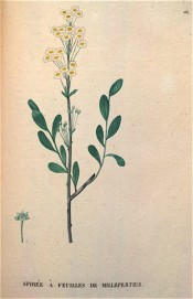 Figured are obovate leaves and terminal clusters of white flowers.  Saint-Hilaire Tr. pl.162, 1825.