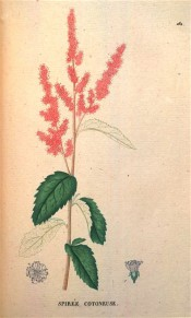 Shown are coarsely-toothed, ovate leaves, and dense, terminal panicles of purplish-rose flowers. Saint-Hilaire Tr. pl.161, 1825.
