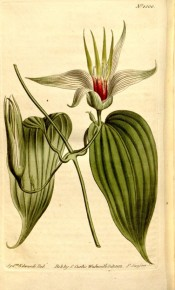 Illustrated are the heart-shaped leaves and bell-shaped, greenish pink flowers.  Curtis's Botanical Magazine t.1500, 1812.