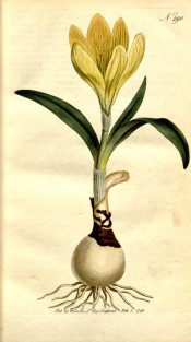 Figured are bulb, leaves, and yellow, crocus-like flower.  Curtis's Botanical Magazine t.290, 1795.