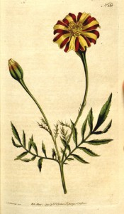 Figured are feathery leaves and red and yellow striped marigold flowers.  Curtis's Botanical Magazine BM t.150, 1791.