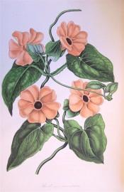 Figured are heart-shaped leaves and black-eyed orange flowers.  Paxton's Magazine of Botany p.269, 1839.