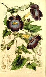 Twining climber with heart-shaped leaves and blue-violet flowers with yellow eyes.  Curtis's Botanical Magazine t.4119, 1844.