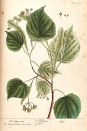 Illustrated are the ovate leaves and pendant cymes of  small yellow flowers.  Blackwell pl.469, 1739.