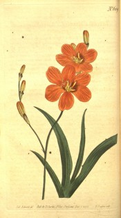 Figured are lance-shaped leaves and bright orange flowers with a darker basal spot.  Curtis's Botanical Magazine t.609, 1802.