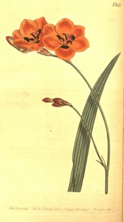 Figured is a lance-shaped leaf and bright orange flowers with a dark basal spot.  Curtis's Botanical Magazine t.622, 1803.