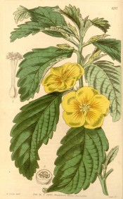 Shown are the serrated and crinkled lance-shaped leaves and bright yellow flowers.  Curtis's Botanical Magazine t.413, 1845.