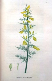 Figured are the spiny, prickly leaves and bright yellow pea-like flowers.  Saint-Hilaire Tr. pl.5, 1825.