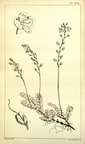 The line drawing shows a dwarf plant with small leaves and upright flower spikes.  Hooker's Icones Plantarum v.9 t.814, 1851.