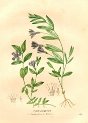 Figured are creeping stems, glossy, lance-shaped leaves and deep blue, salverform flowers.  Saint-Hilaire pl.289, 1830.