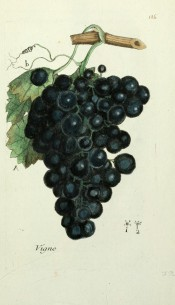 Figured in a shoot with leaf and large bunch of round black grapes. Flora Parisiensis vol.2, pl.126, 1777.