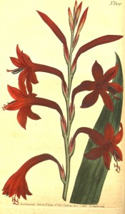 Figured is a sword-shaped leaf and tubular funnel-shaped deep red flowers.  Curtis's Botanical Magazine t.600, 1802.