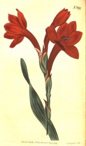 Figured is a sword-shaped leaf and tubular funnel-shaped deep red flowers.  Curtis's Botanical Magazine t.418, 1798.