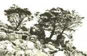 The photograph is of trees in their natural rocky habitat.  Journal of the Arnold Arboretum vol.9-10, p.1, 1928.