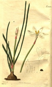 Illustrated are bulb, leaves, unopened bud  and widely expanded white flower.  Curtis's Botanical Magazine t.2607, 1826.