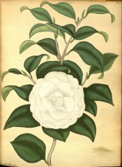 The image shows a very double white camellia with stamens in the centre.  Andrews Botanical Repository pl.25, c.1799.