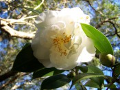 Figured is a pure white semi-double camellia with glossy green leaves.
