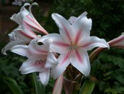 The photograph shows a crinum with white, reflexed petals each with a central red stripe.