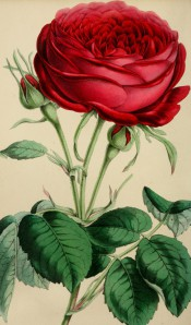 The illustration shows a deep red-purple rose, very double, with bright green foliage.