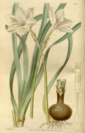 Illustrated are bulb, narrowly strap-like leaves and widely open white flower.  Botanical Magazine t.2737, 1840.