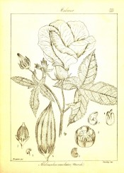 The line drawing shows leaves, flower fruit and details of fruit and seeds.  Wight, Vol.2, p.399, 1843.