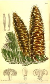 Shown are glossy, silvery leaves and cylindrical, tapering, green-brown cones.  Curtis's Botanical Magazine t.8691, 1916.