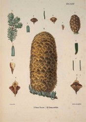 Leaves, cones and seeds of Pinus nobilis are illustrated.  Die Coniferen t.XXIX, 1840-41.