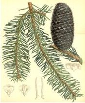 Illustrated are tapered and curved leaves and bluish cylindrical cones.  Curtis's Botanical Magazine t.6753, 1884.
