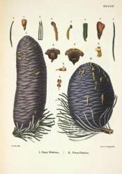 Illustrated are leaves and an elongated, cylindrical, purplish female cone.  Die Coniferen t.XXIV, 1840-42.