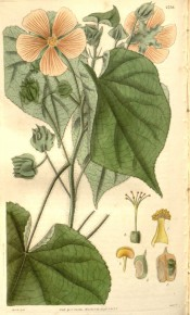 Figured are heart-shaped leaves and open cup-shaped yellow flowers.  Curtis's Botanical Magazine t.2759, 1827.