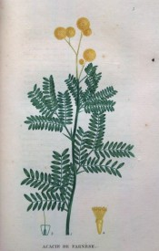 Figured are pinnate leaves, with up to 20 pairs of pinnae, and globular heads of yellow flowers.  Saint-Hilaire Tr. pl.3, 1825.
