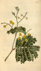 The image depicts pinnate leaves and rounded heads of bright yellow flowers.  Curtis's Botanical Magazine t.1750, 1815.