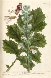 The image shows thistle-like leaves and the white flowers, together with a brown and red moth.  Blackwell pl.89, 1737.