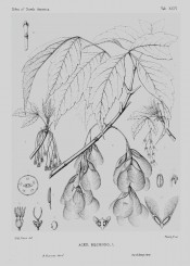 The line drawing depicts leaves, flowers and fruits.