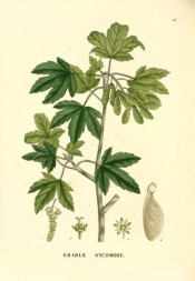 the figure shows palmate leaves and winged fruits.  Saint-Hilaire Arb. pl.28, 1824.