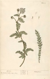 The image is of a spindly shoot with compound, fern-like leaves and umbel of tiny white flowers.  Blackwell, pl.18, 1737.