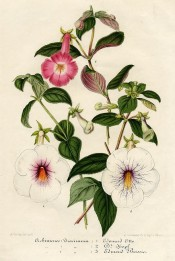 Figured are three Achimenes, including 'Dr. Hopf', white with red throat.  Illustration Horticole pl.55, 1855.