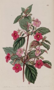 The image shows hairy leaves and stems and rose pink flowers.  Botanical Register f.65, 1841.
